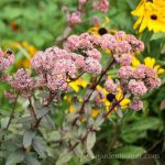 Learn about Sedum, a hardy succulent that comes in both tall and small sizes, many survive harsh winter weather.
