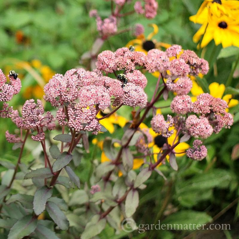 Hardy Succulents: Growing Sedum