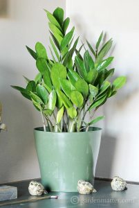 The ZZ Plant - Indoor Plant Ideas - gardenmatter.com
