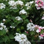 Trailing Verbena ~ gardenmatter.com