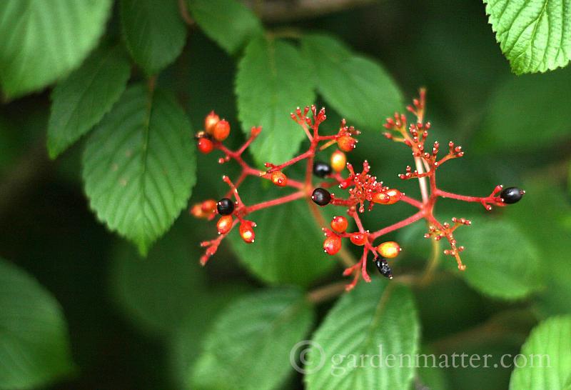 Viburnum Berries - 5 more must have shrubs - gardenmatter.com