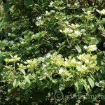 Viburnum Summer Snowflake ~ gardenmatter.com