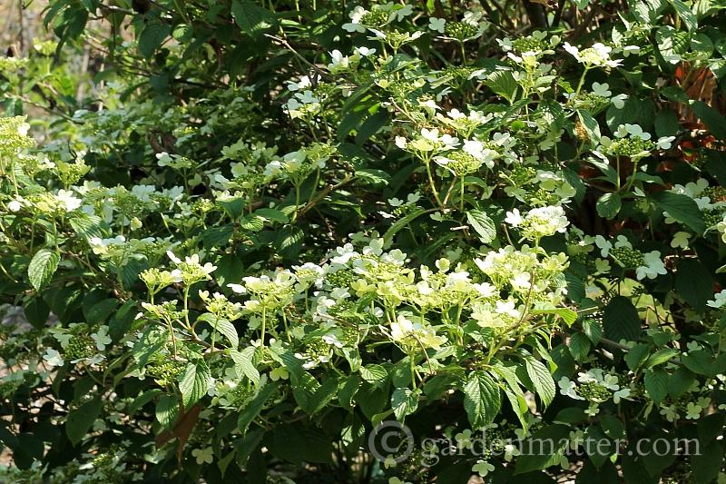 Viburnum Summer Snowflake~ 5 more must have shrubs ~ gardenmatter.com