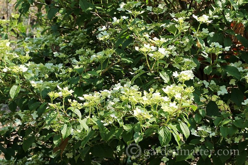 Viburnum Summer Snowflake~ 5 more must have shrubs ~ gardenmatter.com