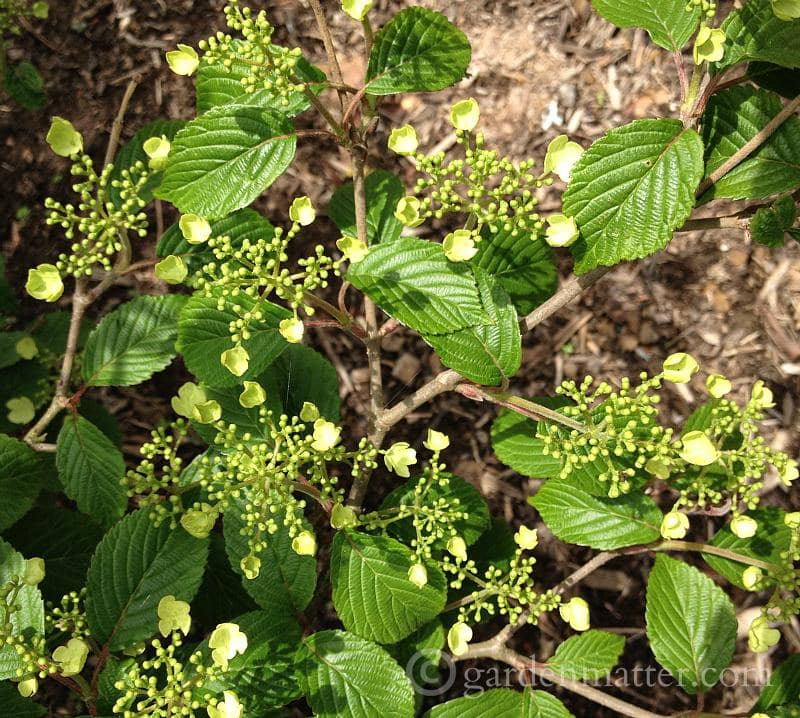 Viburnum flowers - 5 more must have shrubs - gardenmatter.com