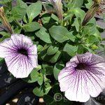 Wave Petunia ~ gardenmatter.com