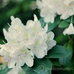 Growing and Maintaining Rhododendrons