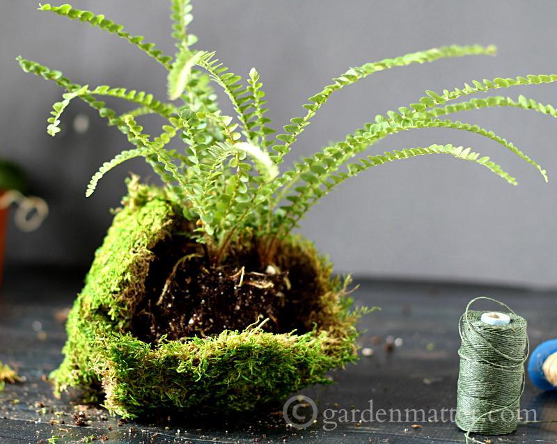Wrap in moss - kokedama string garden - gardenmatter.com