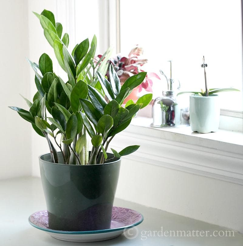 Indoor Plant Ideas: The ZZ Plant