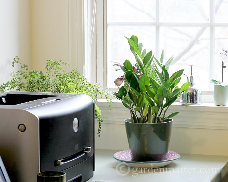 ZZ Plant in office - Indoor Plant Ideas - gardenmatter.com