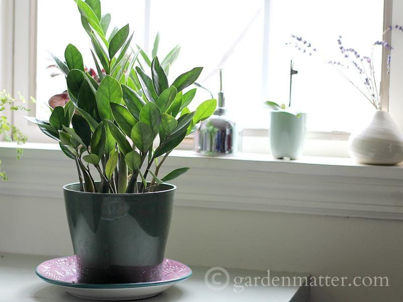 ZZ Plant - indoor plant ideas - gardenmatter.com