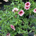 calibrachoa ~gardenmatter.com