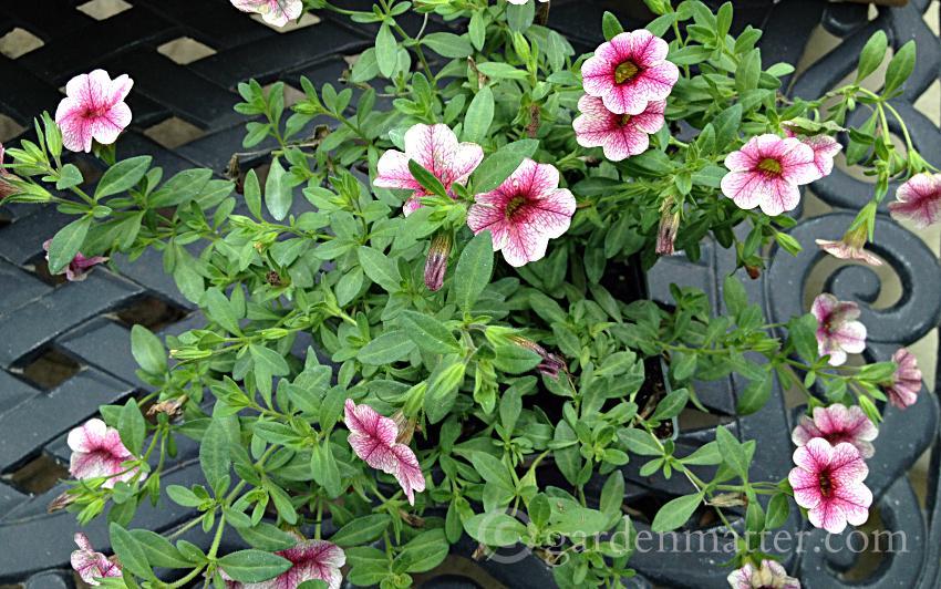 calibrachoa ~ full sun planter ~ gardenmatter.com