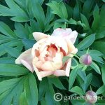View a nice peony portfolio and learn the differences between herbaceous, tree and Itoh varieties.~gardenmatter.com