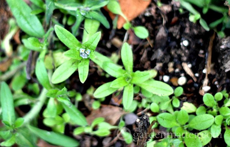 forget me not - crazy winter garden weather - gardenmatter.com