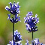 French lavender vs English lavender. English lavender full blossoms.