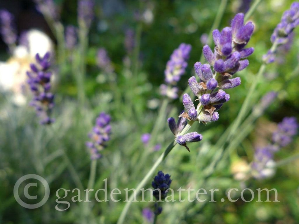 French lavender vs English lavender. .Munstead Lavender