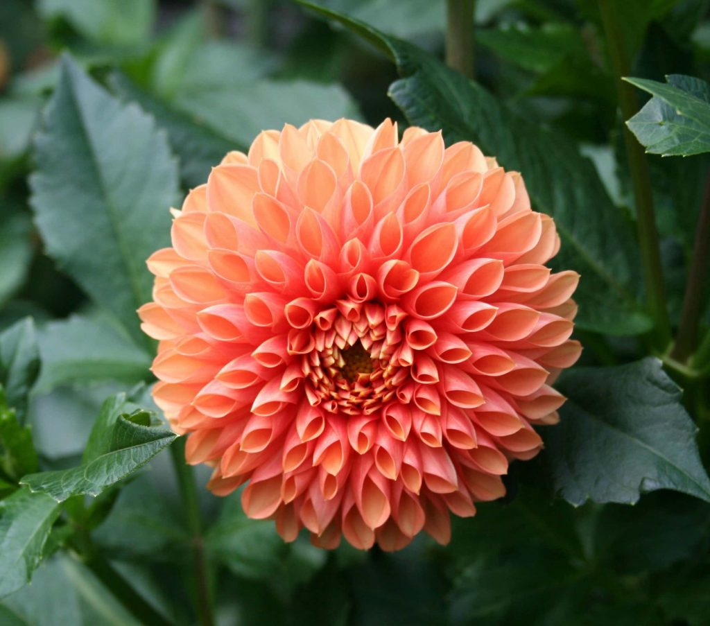 orange-dahlia ~growing beautiful dahlias