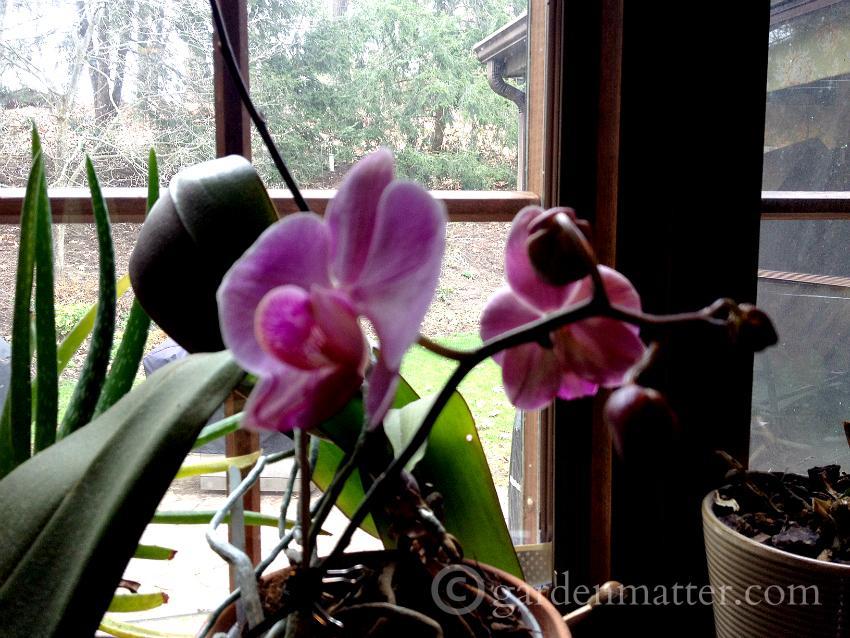 orchid blooms ~gardenmatter.com