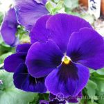 Entertaining with edible flowers