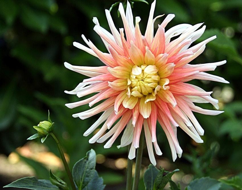 spider or cactus-dahlia~ love of dahlias ~gardenmatter.com