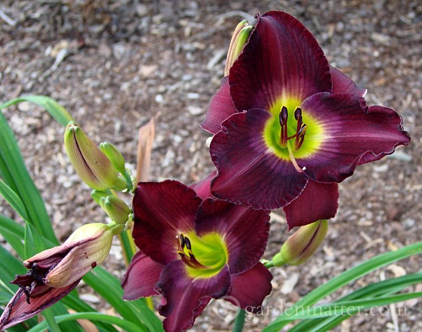 Growing daylillies - Dark maroon.